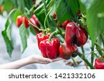 Woman Hand Picking Ripe Red...