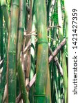 Closeup Of Growing Green Bamboo ...