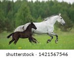 Two Horses Grey White Mare And...