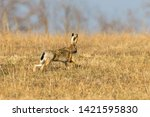 Stock photo european brown hare lepus europeaus running in field spring time 1421595830