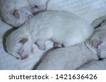Stock photo closeup of adorable sleeping white tiny newborn ragdoll kitten sleeping with his siblings 1421636426