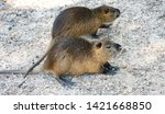 nutria on the stone flooring in ... | Shutterstock . vector #1421668850