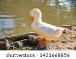 white goose near the water | Shutterstock . vector #1421668856