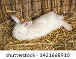 rabbit on dry grass  straw   | Shutterstock . vector #1421668910