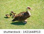 family of ducks in a green glade | Shutterstock . vector #1421668913