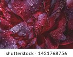 Stock photo dark abstract background of petals of a peony flower flower petals in drops of water dew on peony 1421768756