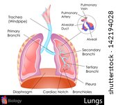 alvcoli,alveolar duct,anatomical,anatomy,biological,biology,breathing,bronchi,bronchiole,cardiac notch,chart,chest,design,design element,diagram