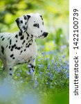 Stock photo dalmatian puppy in a forget me not meadow 1422100739