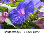Morning Glory Flower With Wate...