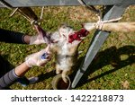 Stock photo the slaughter of the animal hare animal slaughter the death of the hare rabbit meat 1422218873