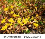 Small photo of Goldmoss Stonecrop, at the flowering time in June and July, the stems lengthen and are erect, somewhat limp and often pinkish-brown with the leaves further apart