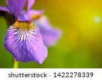 close up purple iris flower on... | Shutterstock . vector #1422278339