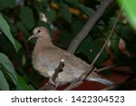Young Chick Of A Turtle Dove...