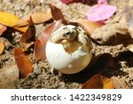 Stock photo africa spurred tortoise are born naturally tortoise hatching from egg cute portrait of baby 1422349829