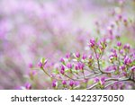 pink flowers of rhododendron...   Shutterstock . vector #1422375050