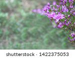 pink flowers of rhododendron...   Shutterstock . vector #1422375053