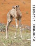 baby camel  calf  in wadi... | Shutterstock . vector #142240558