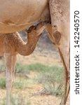 camel baby  calf  suckling... | Shutterstock . vector #142240570