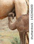 camel baby  calf  suckling... | Shutterstock . vector #142240600