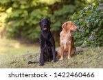 Flat coated black and nova Scotia retrievers, a couple dogs sitting in the park, ignoring each other, seems guilty expression