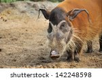 Red River Hogs Will Live In A...
