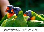 Lorikeets Feeding At A Bird...