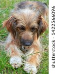a small shaggy red dog with... | Shutterstock . vector #1422566096