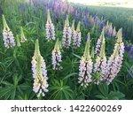 flowering blue lupine field in... | Shutterstock . vector #1422600269