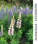 flowering blue lupine field in... | Shutterstock . vector #1422600290
