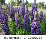 flowering blue lupine field in... | Shutterstock . vector #1422600293