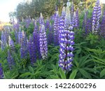 flowering blue lupine field in... | Shutterstock . vector #1422600296