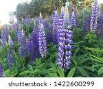 flowering blue lupine field in... | Shutterstock . vector #1422600299