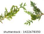 a branch of juniper  arborvitae.... | Shutterstock . vector #1422678350