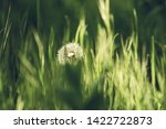 dandelion white flower growing... | Shutterstock . vector #1422722873