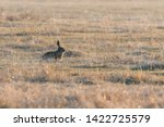 Stock photo european brown hare lepus europeaus hiding in field spring time 1422725579