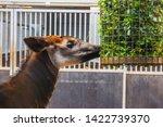 Closeup Of A Okapi Eating From...