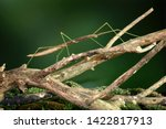 Stick insect or phasmids ...