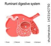 ruminant digestive system.... | Shutterstock .eps vector #1423142750