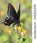 Pipevine Swallowtail On Yellow...