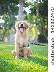 Stock photo happy golden retriever sitting down 142322470