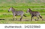 zebras in the ngorongoro crater ... | Shutterstock . vector #142325860