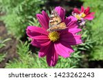 pink flower with butterfly... | Shutterstock . vector #1423262243