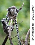 Two Baby Ring Tailed Lemurs...