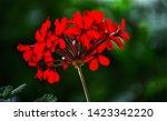 Geranium Red Flowers Close Up....
