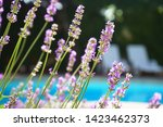 lavender growing on villa house ... | Shutterstock . vector #1423462373