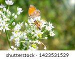 Honey Bee Pollinating White...