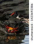 Small photo of Sally Lightfoot Crab with Oyster Catcher bird in the Galapagos, Ecuador, South America
