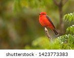 (Pyrocephalus rubinus) Vermilion Flycatcher in Colombia