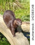 Small photo of american mink looking from a log over stream