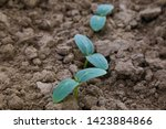 cucumber seedlings  young... | Shutterstock . vector #1423884866